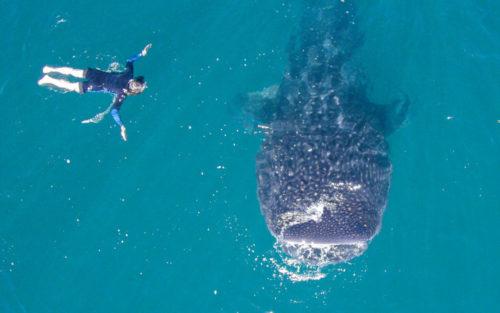 オスロブのジンベイザメも、ドゥマゲテから近い